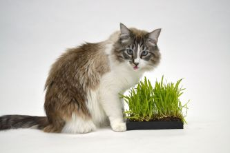 catgrass - cat-2442525_1920